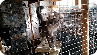 Domestic Mediumhair Cat for adoption in Wakinsville, Georgia - Stormy