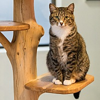Domestic Shorthair Cat for adoption in Houston, Texas - Sox