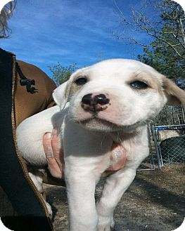 Border Collie/Labrador Retriever Mix Puppy for adoption in Girard, Georgia - Barkley