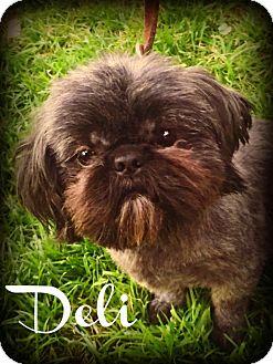 Shih Tzu Dog for adoption in Phoenix, Arizona - DELI