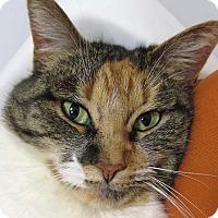 Domestic Shorthair Cat for adoption in Norwalk, Connecticut - Merritt