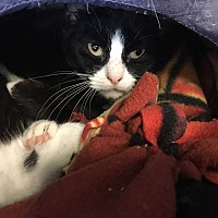 Manx Cat for adoption in Ruckersville, Virginia - Mannie