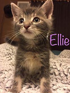 Domestic Shorthair Kitten for adoption in Trevose, Pennsylvania - Ellie