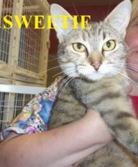 Domestic Shorthair/Domestic Shorthair Mix Cat for adoption in Franklin, North Carolina - SWEETIE