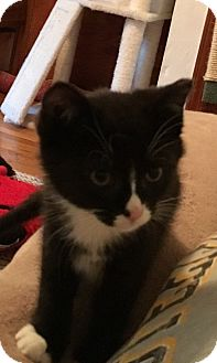 Domestic Shorthair Kitten for adoption in Delmont, Pennsylvania - Little Man