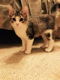 Domestic Mediumhair/Domestic Shorthair Mix Cat for adoption in Beaumont, Texas - Cosmic