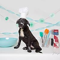 Adopt A Pet :: Wolfgang Puck Jr. - Raleigh, NC