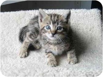 Domestic Shorthair Kitten for adoption in Irvine, California - Macie