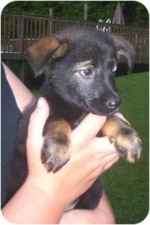 Shepherd (Unknown Type) Mix Puppy for adoption in Paintsville, Kentucky - Bella