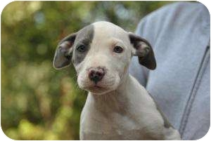 American Pit Bull Terrier Puppy for adoption in Vernon Hills, Illinois - Twinkle