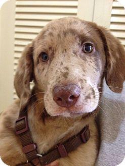 Labrador Retriever/Australian Shepherd Mix Dog for adoption in Cumming, Georgia - Mocha