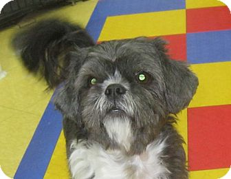 Shih Tzu Dog for adoption in Rigaud, Quebec - Oreo