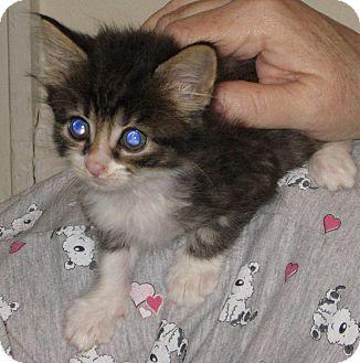 Domestic Mediumhair Kitten for adoption in Clarksville, Tennessee - Monkey