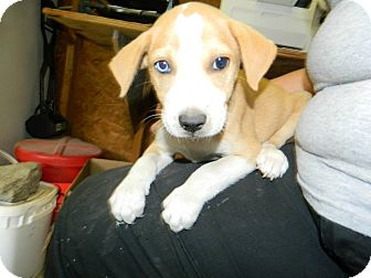 Labrador Retriever/Hound (Unknown Type) Mix Puppy for adoption in Lima, Pennsylvania - Jenny