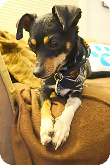 Chihuahua/Miniature Pinscher Mix Dog for adoption in Kimberton, Pennsylvania - Marcel