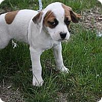 Adopt A Pet :: Bianca - Broomfield, CO