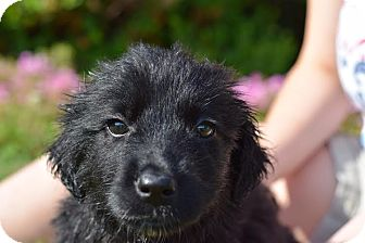 Labrador Retriever Mix Puppy for adoption in South Jersey, New Jersey - Kamilia