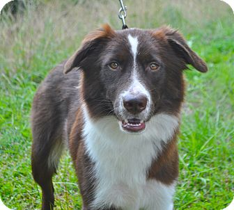 Border Collie/Australian Shepherd Mix Dog for adoption in Savannah, Georgia - Skipper