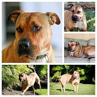 Labrador Retriever/Shar Pei Mix Dog for adoption in Miami, Florida - Lucy