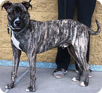 Catahoula Leopard Dog/American Pit Bull Terrier Mix Dog for adoption in Gilbert, Arizona - Baja