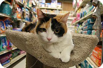 Calico Cat for adoption in Rochester, Minnesota - Nutmeg