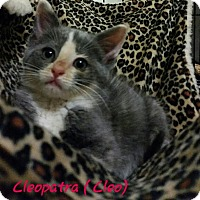 Adopt A Pet :: Cleopatra - McDonough, GA