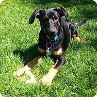 Adopt A Pet :: *Ricochet - PENDING - Westport, CT