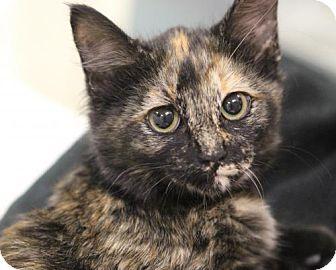 Domestic Mediumhair Cat for adoption in Atlanta, Georgia - Rhoda