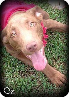 Labrador Retriever/Weimaraner Mix Puppy for adoption in Haggerstown, Maryland - Oz