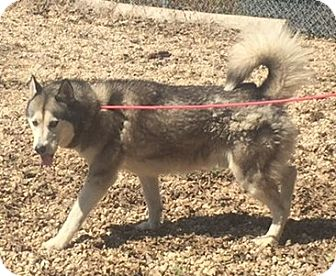 Husky Dog for adoption in Kirby, Texas - Jacob
