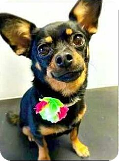 Chihuahua Dog for adoption in Riverview, Florida - Pippa
