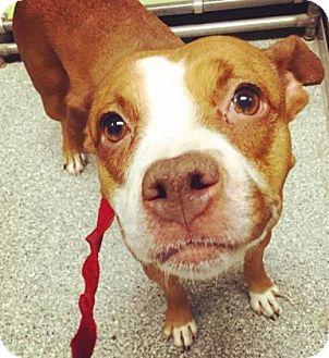 Pit Bull Terrier/Hound (Unknown Type) Mix Dog for adoption in Oak Park, Illinois - Elvie