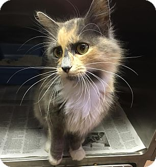 Domestic Mediumhair Cat for adoption in Colonial Heights, Virginia - Betty
