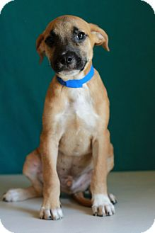 Shepherd (Unknown Type) Mix Puppy for adoption in Waldorf, Maryland - Rosco
