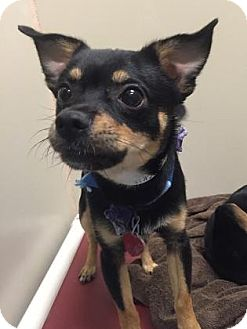 Chihuahua Mix Dog for adoption in Plymouth Meeting, Pennsylvania - Blackie