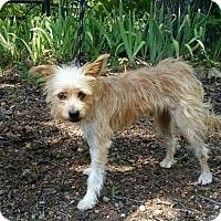 Adopt A Pet :: Joey - Lebanon, CT