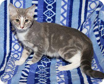 Domestic Shorthair Cat for adoption in Marietta, Ohio - Zazzy (Purrty Girl's Kitten)