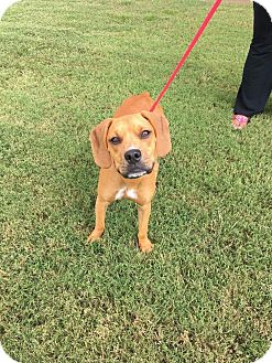 Boxer/Rhodesian Ridgeback Mix Dog for adoption in Rochester, New Hampshire - Ricky Bobby