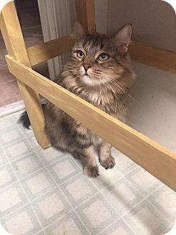 Domestic Mediumhair Cat for adoption in St. Louis, Missouri - Daisy Mae