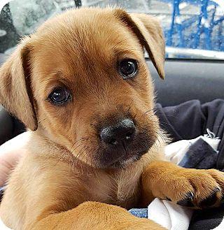 Labrador Retriever Mix Puppy for adoption in Bedford, Virginia - Tanner