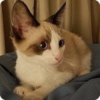 Siamese Cat for adoption in Fullerton, California - Micah