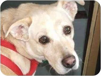 Labrador Retriever/Nova Scotia Duck-Tolling Retriever Mix Dog for adoption in Freeport, New York - Sandy