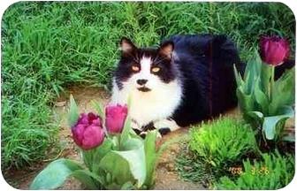 Domestic Mediumhair Cat for adoption in Brea, California - Ollie