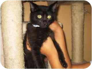 Domestic Shorthair Kitten for adoption in Libby, Montana - Rainbow