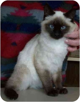 Siamese Kitten for adoption in North Judson, Indiana - Zorro