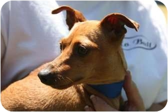 Miniature Pinscher Dog for adoption in Yuba City, California - Peanut