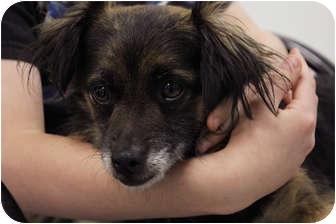 Cocker Spaniel/Sheltie, Shetland Sheepdog Mix Dog for adoption in Milan, New York - Estrella