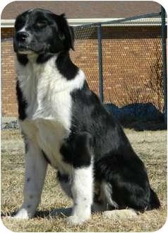 Border Collie Mix Dog for adoption in Columbus, Nebraska - Fargo