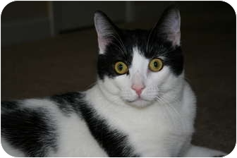 Domestic Shorthair Cat for adoption in Greenville, South Carolina - Blizzard