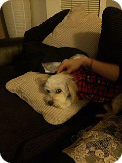 Maltese Mix Dog for adoption in Gig Harbor, Washington - Aroha